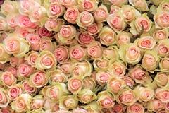 Stor grupp av klippt ljus - rosa rosor Royaltyfria Foton