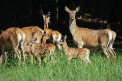 Stor grupp av röda deers och hindar som går i skogdjurliv i naturlig livsmiljö Arkivbilder