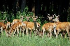Stor grupp av röda deers och hindar som går i skogdjurliv i naturlig livsmiljö Arkivfoton