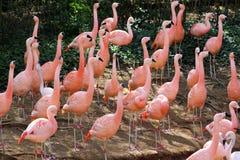 Stor grupp av rosa flamingo Royaltyfri Fotografi