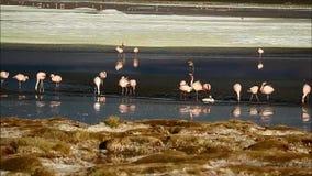 Stor grupp av rosa flamingo som matar i Laguna Hedionda, den salthaltiga sjön i Andean Altiplano, Potosi avdelning av Bolivia stock video