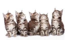 Stor grupp av små maine tvättbjörnkatter som ser upp Isolerat på vit arkivfoton