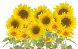 Stor grupp av solrosor på vit Royaltyfri Bild