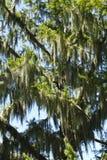 Stor grupp av spanska Moss Plants In ett cypressträd Royaltyfria Bilder