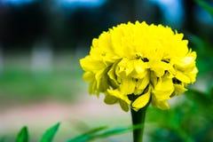 Stor gul blomma i solig dag fotografering för bildbyråer