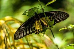 Stor gul fjäril arkivfoto