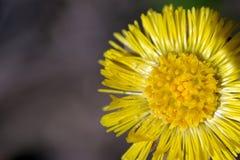 Stor gul maskrosblomma Vita pollenlögner på dess kronblad Hög upplösningscloseupmakro arkivbilder