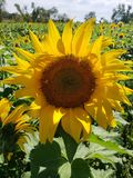 Stor gul solros fotografering för bildbyråer