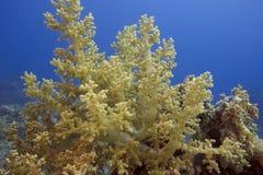 Stor gul sotfkorall på underkanten av det röda havet Royaltyfri Foto