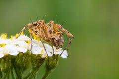 Stor gul spindel Arkivbilder