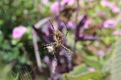 Stor gul spindel Arkivbild