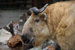 Stor guld- takin Fotografering för Bildbyråer