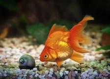Stor guldfisk i akvarium med gröna växter och stenar Royaltyfri Foto