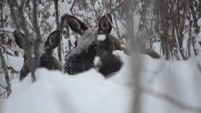Stor härlig brun älg och kalv som vilar i djup kall vinterskog i vildmarken för arktisk cirkel