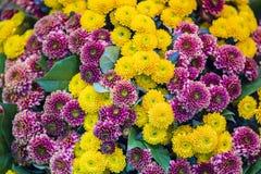 Stor härlig bukett av krysantemum med gula och rosa blommor Texturen av blommorna arkivbild