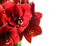 Stor härlig bukett av röda Amaryllis Arkivfoton