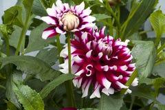 Stor härlig dahlia med röd-vit kronblad Royaltyfria Bilder