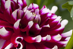 Stor härlig dahlia med röd-vit kronblad Royaltyfri Foto