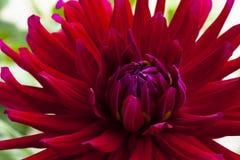 Stor härlig dahlia med röda kronblad Royaltyfri Fotografi
