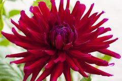 Stor härlig dahlia med röda kronblad Arkivbild