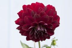 Stor härlig dahlia med röda kronblad Arkivfoton