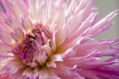 Stor härlig dahlia med rosa färg-vit kronblad Royaltyfria Foton