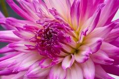 Stor härlig dahlia med rosa färg-vit kronblad Arkivbild