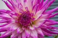 Stor härlig dahlia med rosa färg-vit kronblad Royaltyfria Bilder