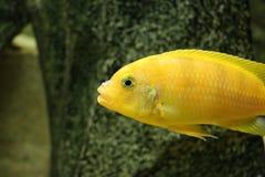 Stor härlig fisk som är undervattens- i ett akvarium Royaltyfri Foto