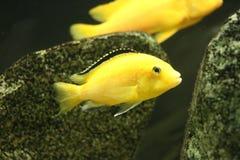 Stor härlig fisk som är undervattens- i ett akvarium Royaltyfria Bilder