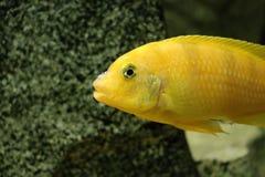 Stor härlig fisk som är undervattens- i ett akvarium Arkivfoto