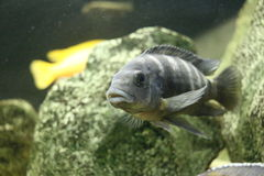 Stor härlig fisk som är undervattens- i ett akvarium Royaltyfria Foton