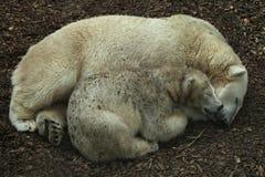 Stor härlig isbjörnfamilj som tillsammans sover arkivfoton
