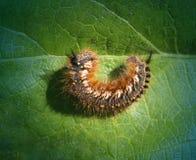 Stor härlig larv fotografering för bildbyråer
