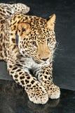 Stor härlig leopard Royaltyfri Foto