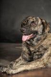 Stor härlig och klyftig hund Royaltyfri Fotografi