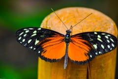 Stor härlig orange fjäril royaltyfria foton