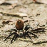 Stor hårig spindel som är klar för attack Royaltyfri Fotografi