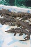 Stor hög av krokodiler på krokodillantgård Royaltyfri Foto