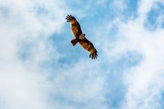 Stor hök i himlen Arkivbilder