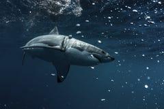 stor hajwhite Arkivbild