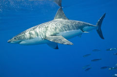 stor hajwhite Arkivbilder