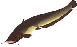 stor havskatt Arkivfoton