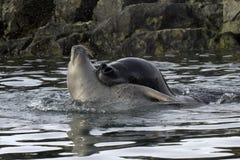 Stor havsleopardskyddsremsa som grep halsen av en ung crabeater Royaltyfria Bilder