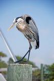 stor heron för blå böjning Arkivfoto