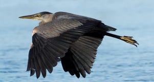 stor heron för blått flyg Arkivbilder