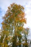 Stor himmel för höstträd Royaltyfria Foton