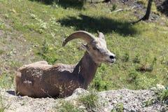 stor horn Royaltyfri Fotografi