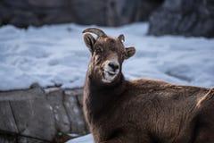 Stor horn- fårvinter Royaltyfri Fotografi