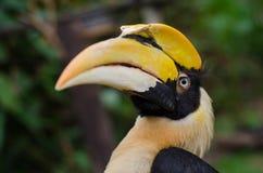 Stor hornbill Royaltyfria Foton